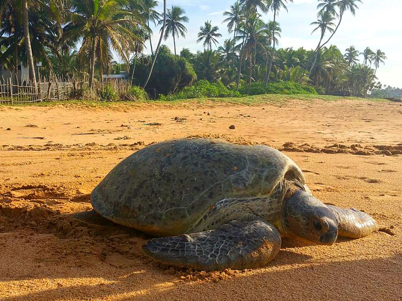 Things to do in Tangalle - Top travel experiences in Tangalle - Tangalle Beach - Sri Lanka Beaches - Beach Holidays Experince im Sri Lanka - Turtle Watching in Sri Lanka - Sri Lanka Turtle Watching
